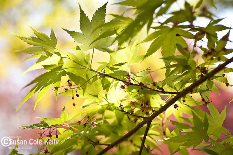 Japanese Maples in spring at the Arnold Arboretum, part of Boston's Emerald Necklace in the Jamaica Plain neighborhood of Boston, MA, USA