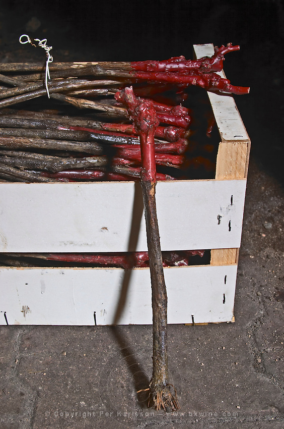 gamay vins from the nursery to plant showing waxed graft roots cut for planting dom du vissoux beaujolais burgundy france