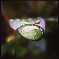 A drop of water sits on a leaf on another cloudy day in Philadelphia on January 16, 2013.