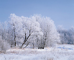trees covered with hoarfrost, Howard County, Iowa