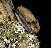 Daubenton's Bat Myotis daubentonii Wingspan 24-27cm Medium-sized bat with rather small head but large feet. Ears are relatively small with short tragus (projection). Adult has silky fur; yellow-brown upperparts show distinct separation from greyish white underparts. Echolocation start in 60-85kHz range and ends in 35 kHz range. Widespread. Favours wooded ponds, canals and slow-flowing rivers. Emerges from roost 30-60 minutes after sunset; feeds throughout night. Wingbeats are relatively slow. Sometimes grabs insects from water surface. Roosts under bridges and in tree holes in summer, hibernates in caves and tunnels.
