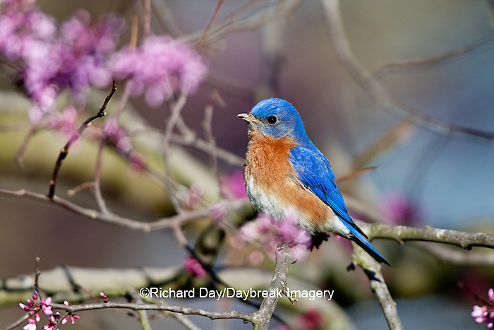 01377-16920 Eastern Bluebird (Sialia sialis) male in Eastern Redbud (Cercis canadensis) in spring, Marion Co., IL