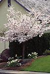 8892-CB Akebone Flowering Cherry, Prunus x yedoensis `Akebone', tree in flower, at Salem, Oregon