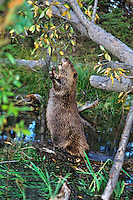 American Beaver trying to reach cottonwood tree it has cut down.  Fall.  Western U.S.