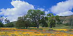 San Luis Obispo County, CA<br /> Spring wildflowers and valley oak trees