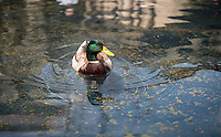 A ducks swims next to the Lucille Y. Gilman Memorial Fountain (Water Forms II) on April 18, 2014. (Photo by Marc Campos, Occidental College Photographer)