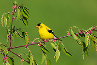 Male American goldfinch in spring.