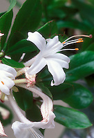 Rhododendron viscosum native american shrub in white spring flowers, water margins wetlands bush plant. Swamp azalea, very fragrant