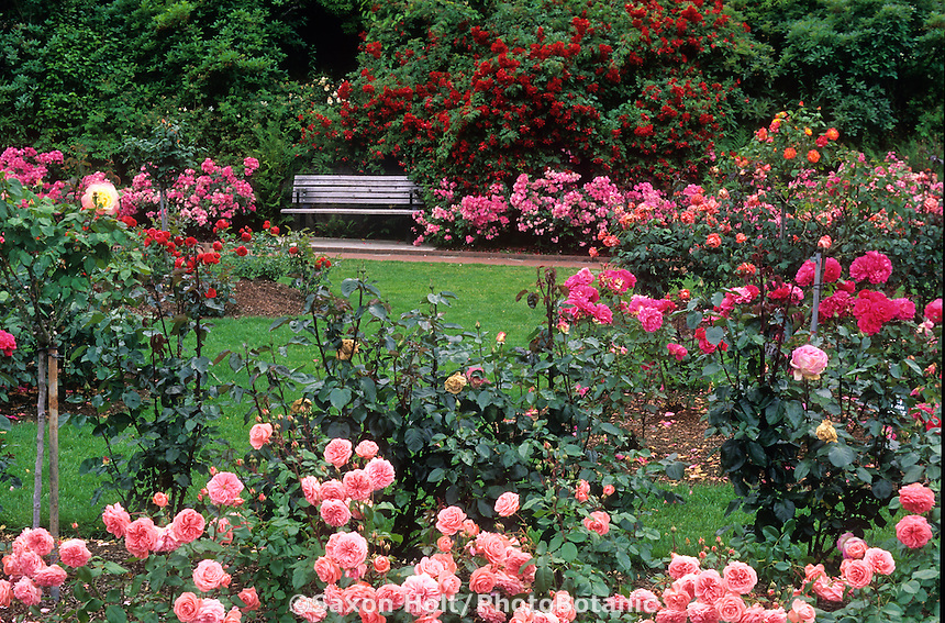 Portland rose garden, well spaced roses in summer flower