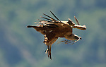 Adult Griffon Vulture soaring  with legs down and carrying nest building material in it's beak. Andalucia, Spain