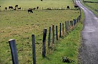 Europe/France/Auvergne/15/Cantal/Parc Naturel Régional des Volcans/Massif du Puy Mary (1787 mètres) /Vallée de la Cheylade/Env d'Apchon: Vaches Salers en paturage