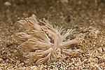 A nudibranch mimicking a Xenia soft coral - (Phyllodesmium rudmani)