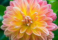 Dahlia 'Bloom's Irene'