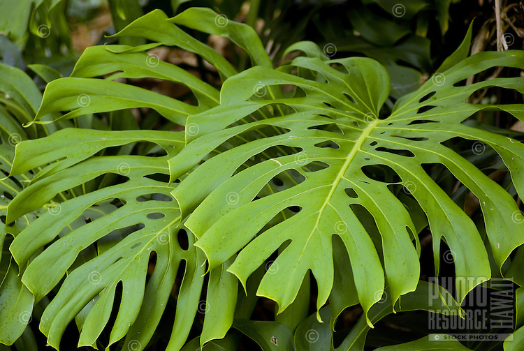 Giant green monstera leaves (monstera deliciosa Liebm) on the grounds at Limahuli Gardens, on Kauai's majestic north shore. One of the 5 National Tropical Botanical gardens in the US.