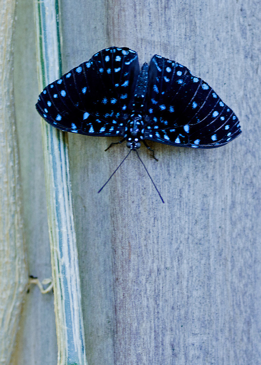 A full dorsal view of a male Starry Night Cracker showing off his beautiful irridescent blue spots against his dark wings. The Cracker is upside down on a grey-blue trunk.