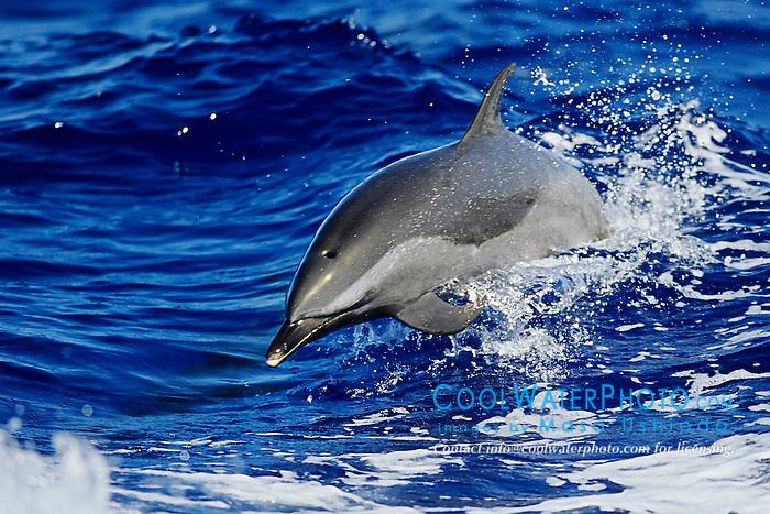 Pantropical Spotted Dolphin, Stenella attenuata, wake-riding, Big Island, Hawaii, Pacific Ocean.