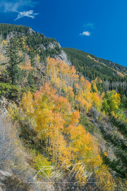 US, CO, White River NF, Autumn Color on Aspen Trees