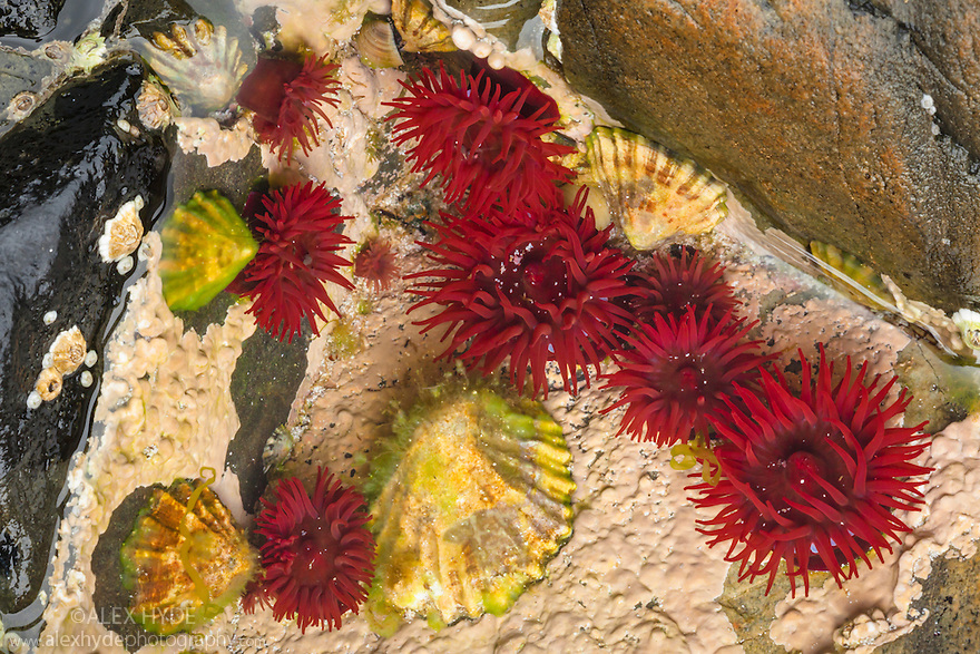 Beadlet Anemones {Actinia equina} in rock pool at low tide. Iona, Isle of Mull, Scotland, UK. June.