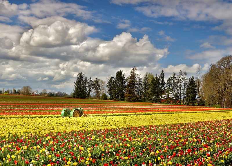 John Deer Tractor in tulip filed. Wooden Shoe Tulip Farm. Woodburn. Oregon