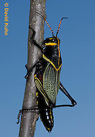 0913-0816  Adult Horse Lubber Grasshopper - Taeniopoda eques © David Kuhn/Dwight Kuhn Photography.