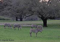 0209-08xx  Herd of Hartman's Mountain Zebras, Equus zebra hartmannae © David Kuhn/Dwight Kuhn Photography