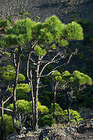 Spain, Canary Islands, La Palma, view at vulcano San Antonio near village Los Canarios Fuencaliente, vegetation