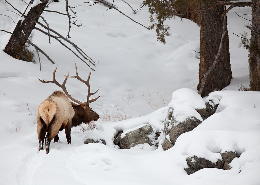 A bull elk stands in the snow searching for grass to graze on under the snow in Yellowstone National Park.