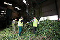 05/09/14 <br /> <br /> The hops are unloaded and prepared to be attached to the Bruff machone<br /> <br /> Thanks to ideal growing conditions over the summer, Britain's hop harvest is set to be a bumper crop.<br /> <br /> Picking stopped early yesterday at Stocks Farm, Worcestershire, as the 'Heath Robinson' style 1962 Bruff hop picking machine was overwhelmed by the volume of hops coming in from the 100 acres of hops the farm grows.<br /> <br /> The golding hops are the first to picked this year from the bines that are strung up on a total of 550 miles of twine that stretch across the farmland near the Malvern Hills. &quot;That's enough to make 46m pints of craft ale&quot; said farmer and hop expert Ali Capper.<br /> <br /> The farm grows a variety of hops supplying national brewers including Fullers, Greene King, St Austell and Marston's, and hundreds of craft breweries and brewers in the UK and USA.<br /> <br /> &quot;We've had perfect growing conditions this year, a lovely warm summer and even rainfall. The whole crop is looking wonderful and the aromas are much better than last year,<br /> <br /> &quot;It should be a bumper crop - but we can't be sure until it's all in&quot;<br /> <br /> &quot;The demand from small brewers is rising each year&quot; added Ali<br /> <br /> &quot;This year we'll be selling 100 gram bags for home brewers too - that's enough to brew at least 20 pints. <br /> <br /> In 2013 almost half of all British hops were exported to to the USA - and this figure is still rising&quot; she said.<br /> <br /> All Rights Reserved - F Stop Press.  www.fstoppress.com. Tel: +44 (0)1335 300098