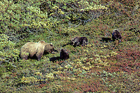 Grizzly bear (Ursus arctos)