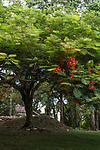 Red flowers on a Flame Tree or Royal poinciana, Delonix regia, in bloom in front of a Mayan ruin in Palenque National Park, Chiapas, Mexico.  A UNESCO World Heritage Site.