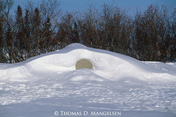 A polar bear den in a snow bank in Canada, shielded by a line of trees.