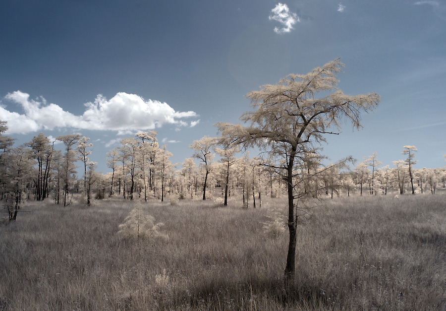 Cypress trees in tall grass near the turner River photographed using infrared Canon 5D Mark II camera in Florida's Everglades National Park out of Chokoloskee Island and the 10,000 Islands National Wildlife Refuge. Photo/Andrew Shurtleff