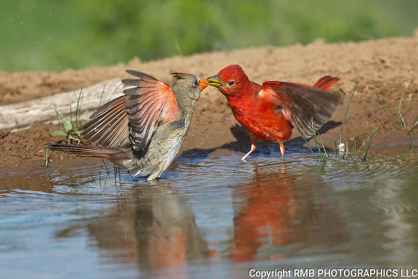 Female Northern Cardinal and Male Summer Tanager fighting.