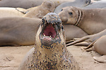 Molting bull elephant seal vocalizes