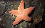 Winged or Sponge Eating Sea Star