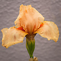 Tall bearded iris 'Party Dress' (Iris germanica 'Party Dress'), late May.