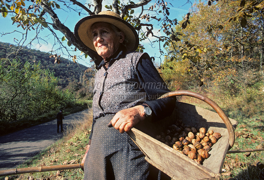 Europe/France/Midi-Pyrénées/46/Lot/Haut-Quercy/Saint-Clair : Gaulage des noix - Paysanne et panier de noix [Non destiné à un usage publicitaire - Not intended for an advertising use]<br /> PHOTO D'ARCHIVES // ARCHIVAL IMAGES<br /> FRANCE 1980