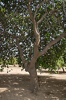 Cashew Nut Tree, near Sokone, Senegal. The  field is well-tended, with no brush or low-lying branches under the trees.