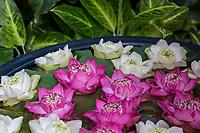Bangkok, Thailand.  Lotus Blossoms.