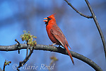 Northern Cardinal (Cardinalis cardinalis) male singing in spring, Ithaca NY, USA