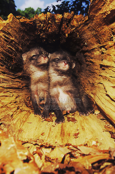 Gray Fox, Urocyon cinereoargenteus, Young in nesting cavity in hollow tree, Raleigh, Wake County, North Carolina, USA