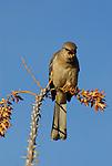Mockingbird vocalizing