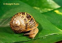 1Y08-146c  Land Snail emerging from shell, west coast snail, Helix aspersa