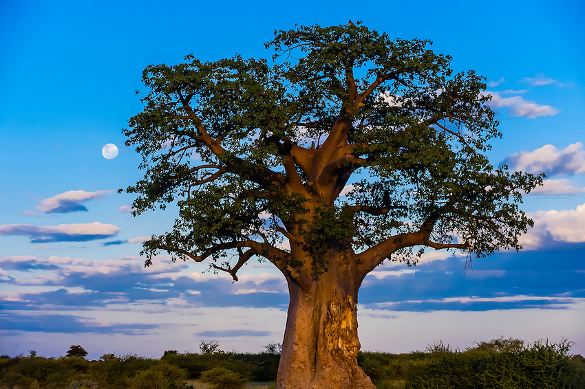 Baobab tree, Nxai Pan National Park, Botswana.