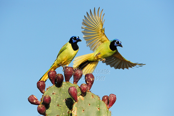 Green Jay (Cyanocorax yncas), pair perched on Texas Prickly Pear Cactus (Opuntia lindheimeri), Dinero, Lake Corpus Christi, South Texas, USA