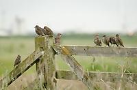 Starling {Sturnus vulgaris} Fledglings Perched on a Gate