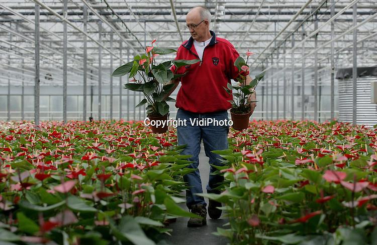Foto: VidiPhoto..RESSEN - Kweker Jan van Gellecum uit Ressen met zijn vrouw aan het werk in zijn kassen. De rozenkweker is overgestapt op anthuriums nadat hij besefte dat er in de rozen weinig toekomst meer zit. Oorzaak is de import van goedkope rozen uit Afrika, waar diverse Nederlandse kwekers een eigen onderneming hebben opgezet. Voordeel van anthuriums is dat deze potplanten veel minder arbeidsintensief zijn dan rozen en bovendien flink in populariteit toenemen. Veel van deze subtropische hartvormige bloemen gaan voor export naar het buitenland. Vooral vanuit de Scandinavische landen neemt de vraag flink toe. Rozen moesten iedere dag geplukt worden omdat anders de kwaliteit snel afneemt. Anthuriums kunnen gerust een week blijven staan. De familie Van Gellecum hoeft nu ook niet meer op zondag te (laten) werken.