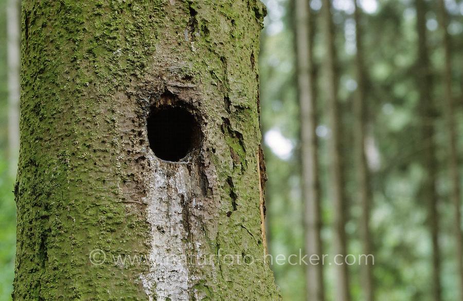 Buntspecht, Höhle, Bunt-Specht, Specht, Spechthöhle, Dendrocopos major, Picoides major, great spotted woodpecker