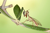 Fanghaft, Steirische Fanghaft, Mantispa styriaca, syn. Poda pagana, syn. Mantispa pagana, Fanghafte, Mantispidae, mantidfly, mantis fly, mantispid, mantid lacewing, mantis-fly, mantis flies, mantidflies, mantispids, mantid lacewings or mantis-flies, Neuroptera, Planipennia, Mantispe de Styrie