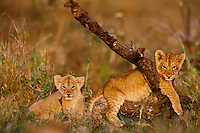 Two African Lion cubs play around fallen tree limb.  Africa.